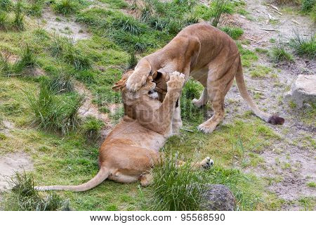 Large Lions In Green Environment
