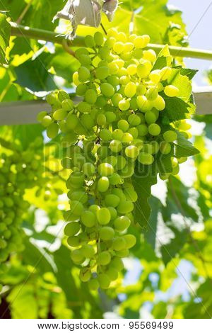 Bunch of green vine leaves and grapes