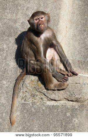 Young Hamadryas baboon (Papio hamadryas). Wild life animal.