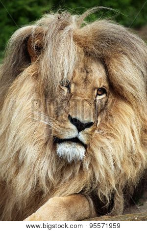 Katanga lion (Panthera leo bleyenberghi), also known as the Southwest African lion. Wildlife animal.