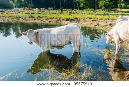 White Cow Standing In The Water