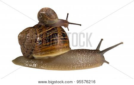 Snail On Back Of Bigger Snail