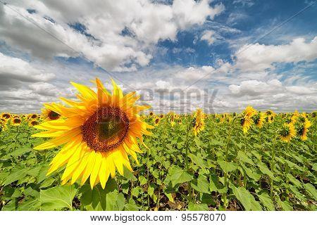 Sunflower Field. Blue Sky. Clouds