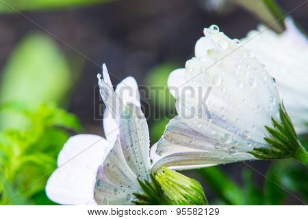 White Flowers With Waterdrops