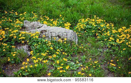 Wild Flowers On Rock In Fagaras Mountain