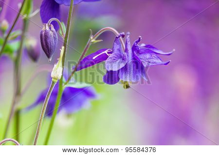Beautiful Bluebell Flowers With Blurry Background