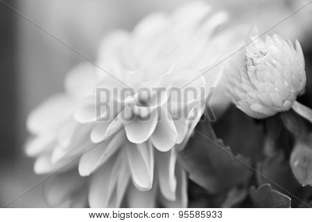 Black And White Dahlia Flower With Short Depth Of Field