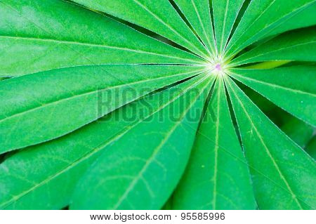 Lupin Flower Leaf With Short Depth Of Field