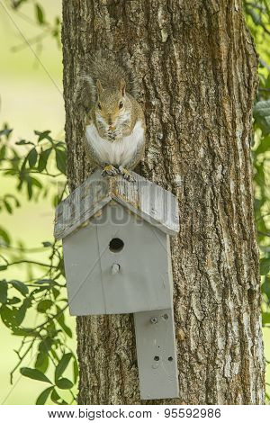 Squirrel Eating On Top Of Bird House.