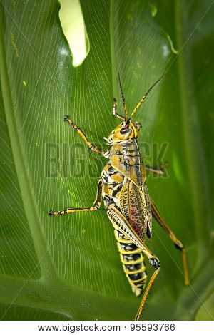 Locust Climbing On Leaf.