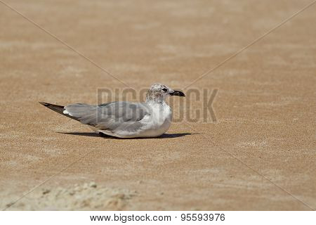Gull Sits In The Sand.