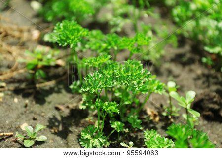 Fresh herbs growing in garden