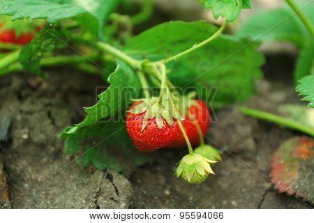 Fresh organic strawberry growing in garden