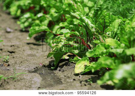 Tops of beet growing in garden