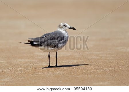 Gull Stands On The Sand.