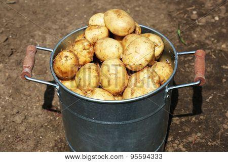 New potatoes in metal bucket in garden