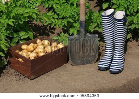 New potatoes in wooden crate near shovel and rubber boots over garden background