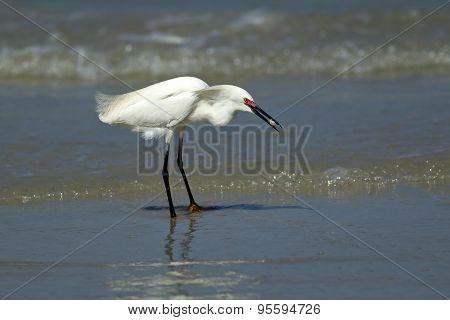 Egret Eating A Crab.