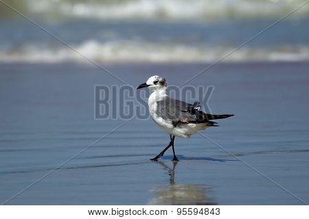 Gull Walking In Water.