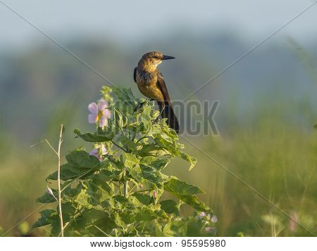 Grackle Perched On Plant.