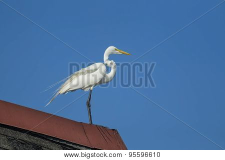 Pretty Egret On A Roof Top.