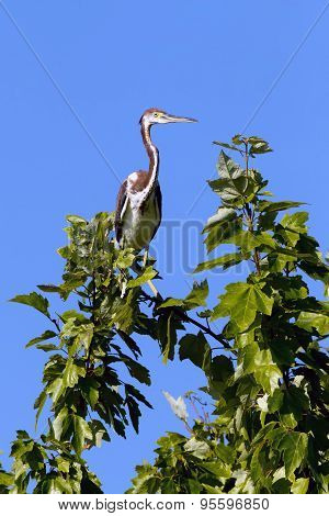 Tri Colored Heron On Branch.