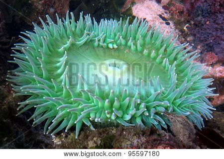 Giant Green Anemone - Anthopleura xanthogrammica