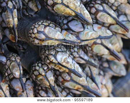Gooseneck Barnacles Closeup - Pollicipes pollicipes
