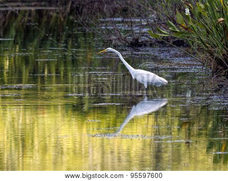 Reflection Of Great Egret In Water.