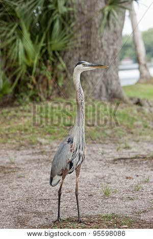 Heron Standing Tall.