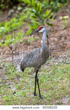 Sandhill Crane Looks To The Side.