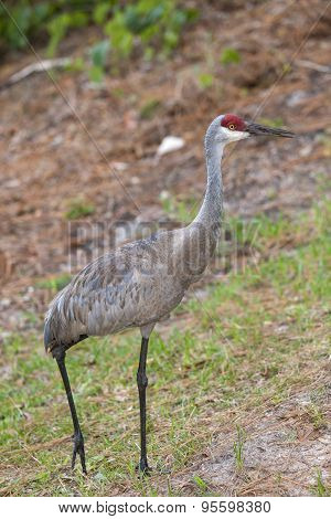 Walking Sandhill Crane.