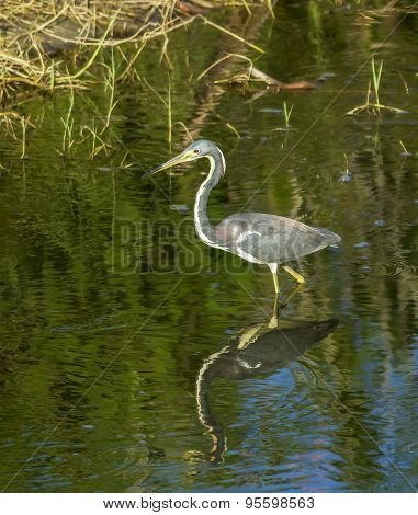 Heron Wading Through Water.