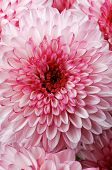 image of chrysanthemum  - Background of Big Beautiful Pink and White Chrysanthemum closeup - JPG