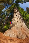 picture of redwood forest  - Man with backpack climbs on big tree in Redwood California during summer sunny day - JPG