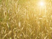 foto of dry grass  - Field with yellow dry grass at sunset - JPG