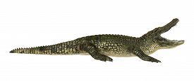 picture of alligator  - 3D digital render of a American alligator isolated on white background - JPG