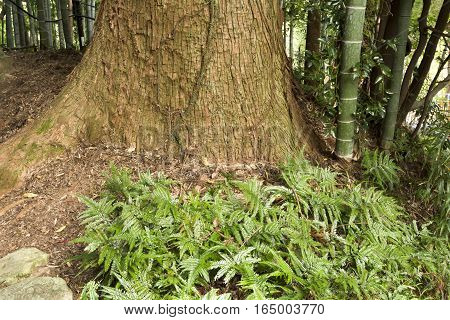Green ferns growing at large coniferous tree root