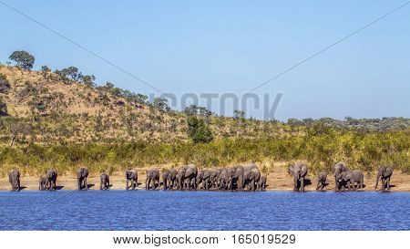 African bush elephant in Kruger national park, South Africa ; Specie Loxodonta africana family of Elephantidae