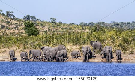 African bush elephant in Kruger national park, South Africa ;Specie Loxodonta africana family of Elephantidae