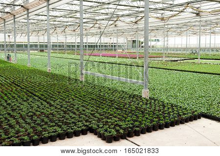 Indoor flower cultivation method - green floor of planting stock greenhouse covered with flower pots