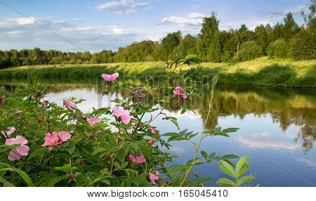 Wild rose bushes with delicate pink flowers on the shore North of the river on a warm evening
