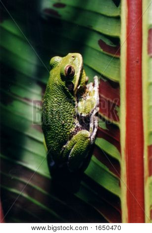 Large Tree Frog