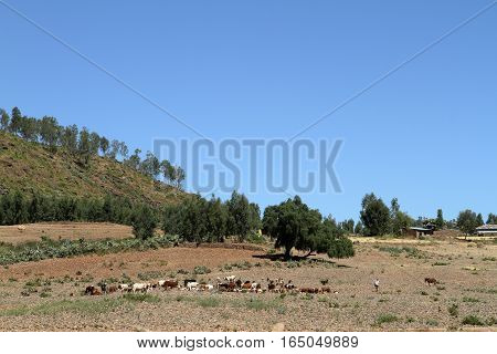 A Farm and Agriculture of Ethiopia in Africa