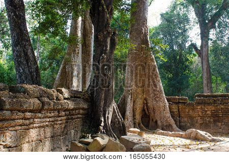 trees in the temple complex of Angkor Wat in Cambodia