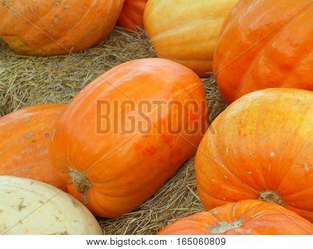 Vivid orange color pumpkins scattered on dried grass