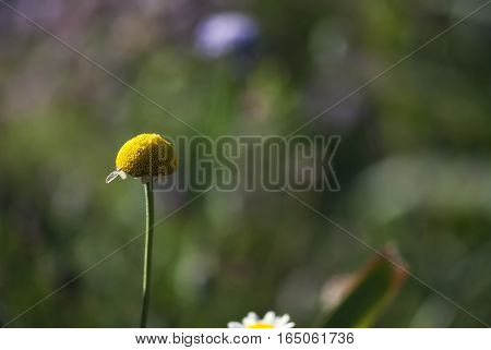 A daisy loses its petals, leaving a yellow globe of tiny flowers.