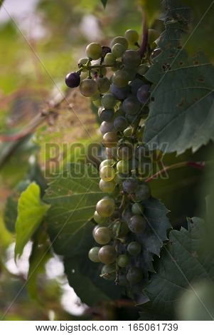 Grapes ripen on the vine in late summer.