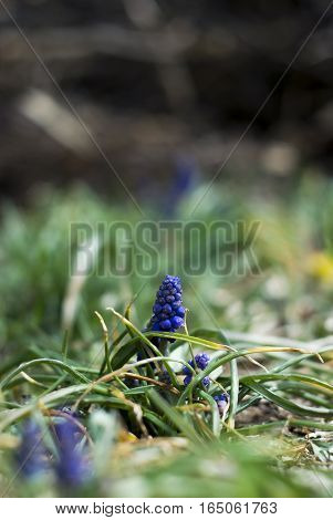 A cluster of grape hyacinth buds push up through the ground in springtime.