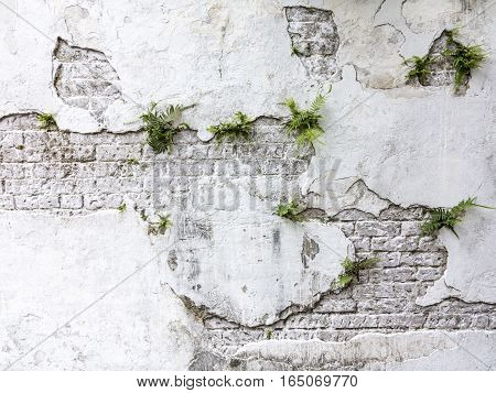 plant grows on old rotten brick wall with peeling color
